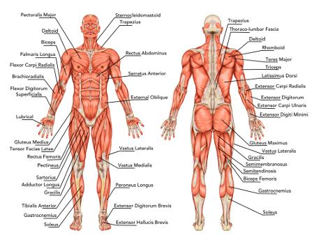 muscle therapy and massage